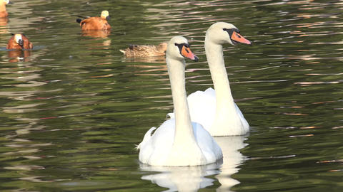 Sweet Couple of White Swans on the Water. 4K UltraHD, UHD Footage