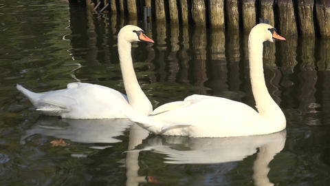 Sweet Couple Of White Swans On The Water. 4K UltraHD, UHD stock footage