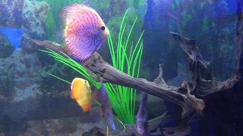 Cute Orange Fish in Aquarium. Blue background. 4K UltraHD, UHD Footage