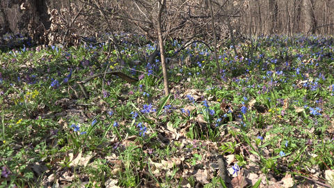 Blue Colorful Snowdrop in Early Spring Forest. 4K UltraHD, UHD Footage