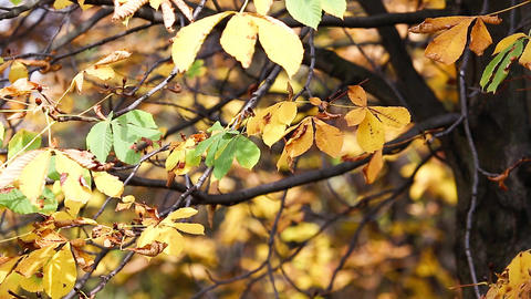 Autumn yellow leaves at windy and sunny day. Forest in yellow colours Footage