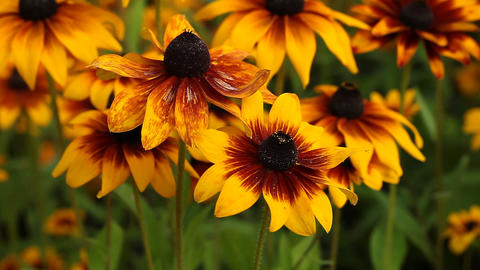 Bright yellow rudbeckia or Black Eyed Susan flowers Footage