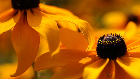 Bright yellow rudbeckia or Black Eyed Susan flowers Footage