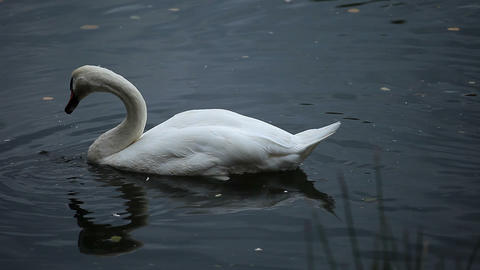 White swan in blue water at winter time Footage