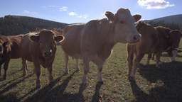Cows With Calves In Sunny Pasture Woods Hills stock footage