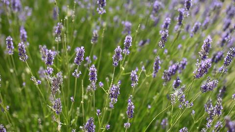 Purple Lavender Flowers Footage