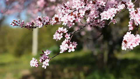 Pink cherry flowers blooming in springtime swining in the wind Footage