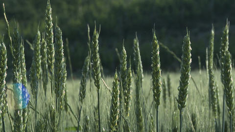 Green sheaves of wheat in the wind close up Footage