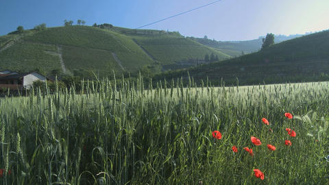 Green sheaves of wheat and poppy in the wind with vineyards in the background Footage