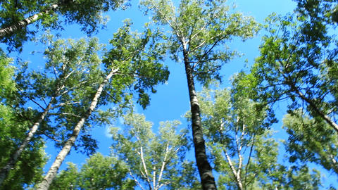 crowns of trees and blue sky Live Action