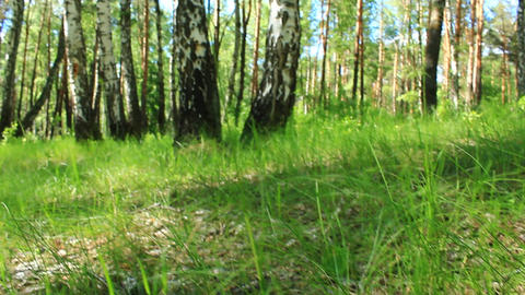 little cep in the green grass of birch grove Footage