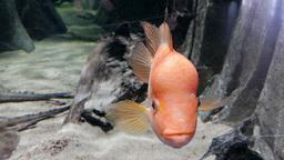 Amphilophus citrinellus. Midas cichlid. Fish Footage