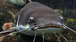 Redtail catfish. Phractocephalus hemioliopterus Footage
