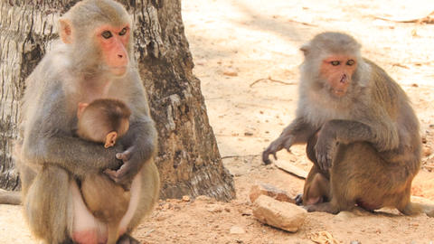 monkey sits at stone looks suckles monkey-cub in tropical park Footage