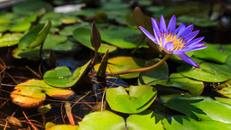 closeup wind shakes violet river lotus on tropical island Footage