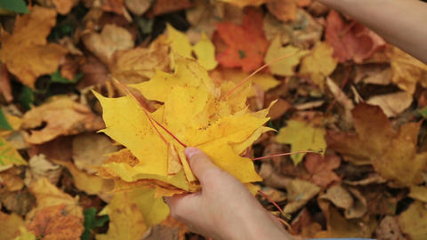 Woman collects fallen autumn maple leaves Footage