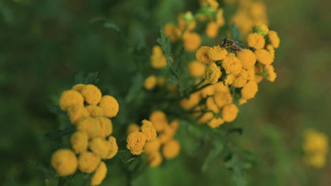 Tansy Flowers With Fly stock footage