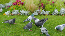 City birds. Pigeons and sparrows in a city park Footage
