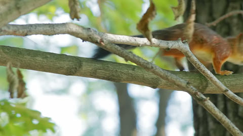 Squirrel jumps on branches Stock Video Footage