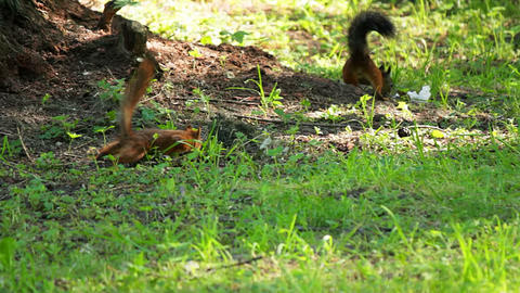 The two squirrels are looking for food Stock Video Footage