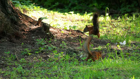 The two squirrels are looking for food Footage