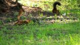 The Two Squirrels Are Looking For Food stock footage