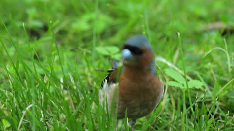 Redstart Stock Video Footage