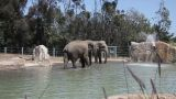 Elephants In Water In The Zoo stock footage