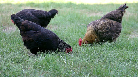 Group of hens eating grain in the green grass Stock Video Footage