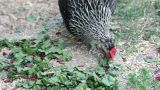 Hen eating grain and green beet leaves Footage
