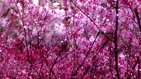 Cherry Blossoms 384 Stock Video Footage