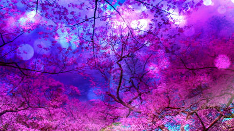 Cherry Blossoms 345 Stock Video Footage