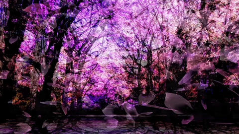 Cherry Blossoms 67 Stock Video Footage