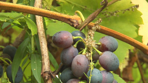 grapes 2 Stock Video Footage