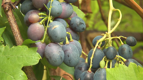 grapes 2 Footage