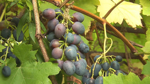 grapes 4 Stock Video Footage