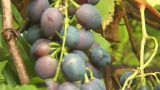 Grapes 4 stock footage