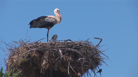 stork 4 Stock Video Footage
