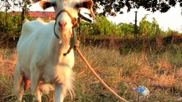 GOAT LOOKS AT THE CAMERA Stock Video Footage