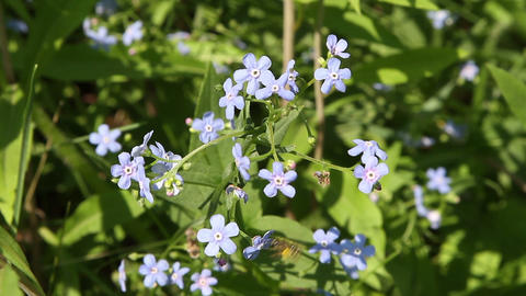 blue forget-me-not Stock Video Footage