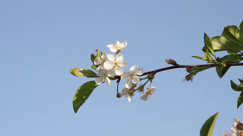 cherry blossoms in the sky close-up Stock Video Footage