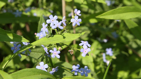 forget-me-not Stock Video Footage