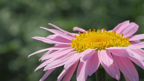 pink daisy Stock Video Footage