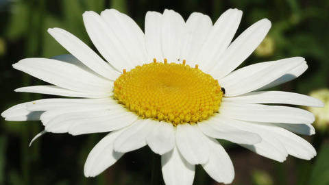 swaying white daisy Stock Video Footage