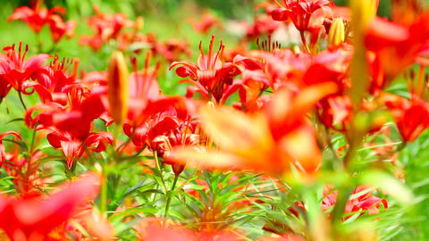 Red lily Stock Video Footage