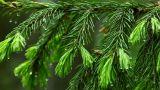 Wet spruce twig Footage