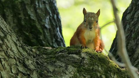 Squirrel chews Stock Video Footage