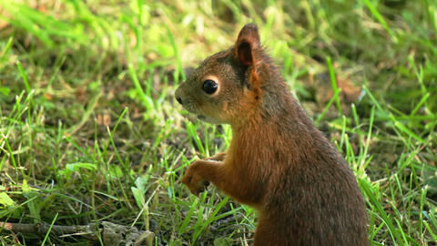 Squirrel chews Stock Video Footage