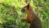 Squirrel chews Footage