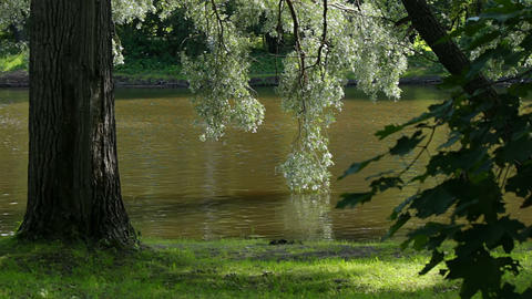Willow over the water Stock Video Footage